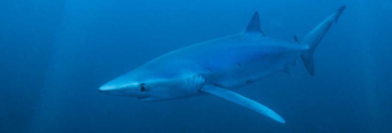 Les Requins à La Réunion