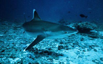"""Le Nourrissage des Requins ou """"Shark Feeding"""" en Polynésie Française"""