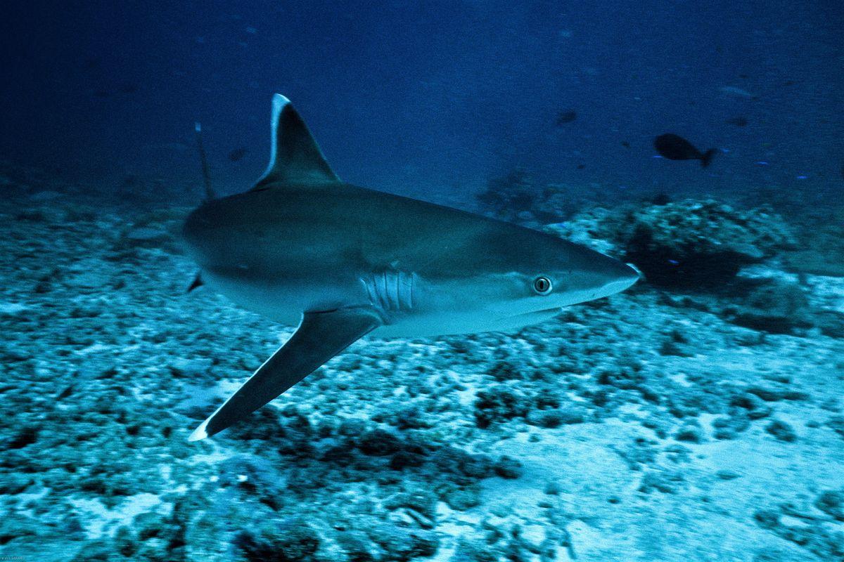 Le Nourrissage des Requins ou Shark Feeding en Polynésie Française