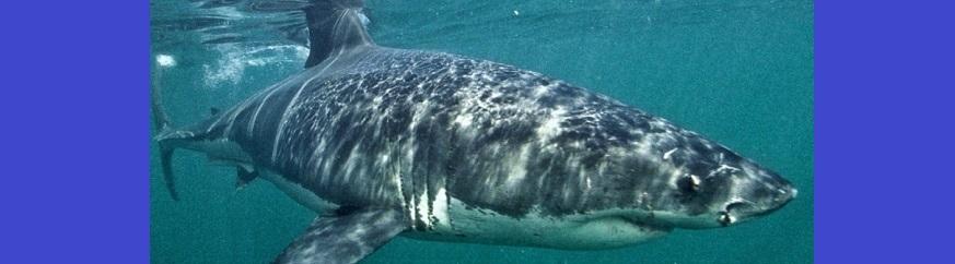 Pêche aux requins à La Réunion