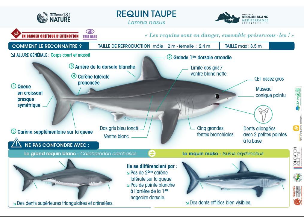 Le requin taupe, en danger critique d'extinction !