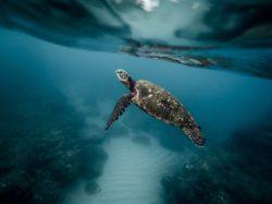 7 espèces de grandes tortues marines