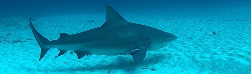 requin bouledogue points