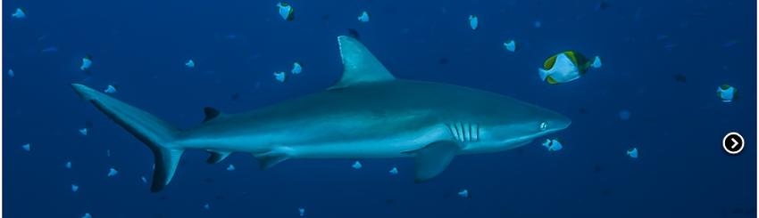 requin gris sylvie ayer