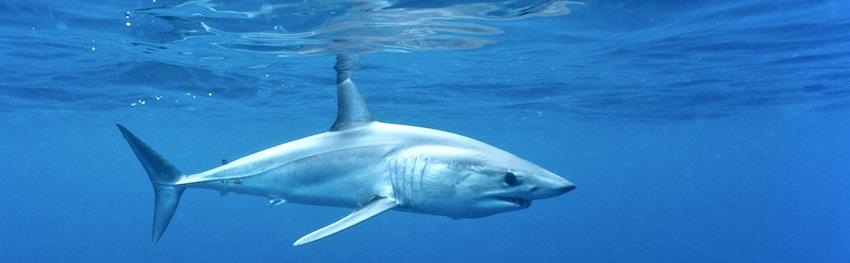 Requin mako : la France doit s'engager d'urgence pour sa protection