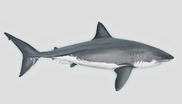 grand requin blanc danger critique