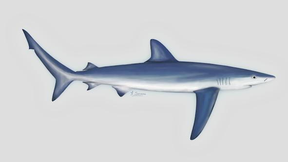 90% des requins de Méditerranée ont déjà disparu!