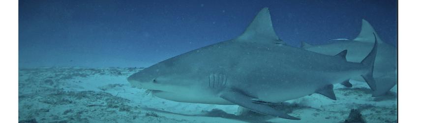 bandeau au nom du requin