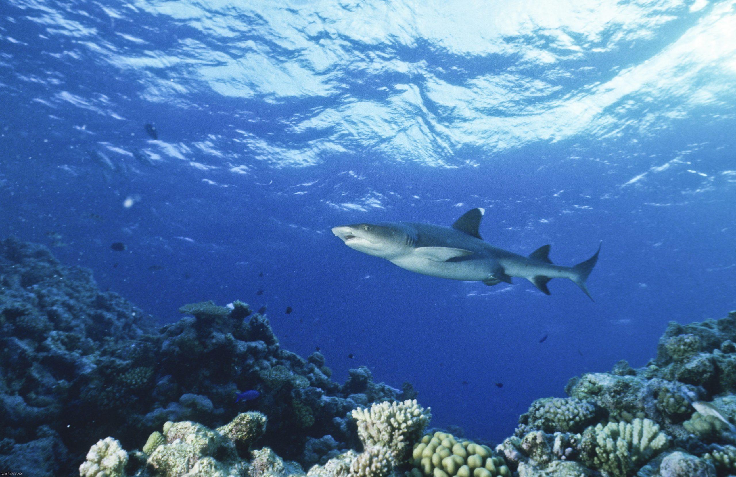 VFS Requin Pointe blanche du lagon scaled