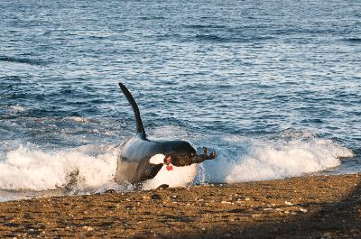 orque f SARANO