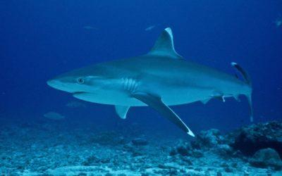 Shark feeding : Longitude 181 réaffirme son opposition!