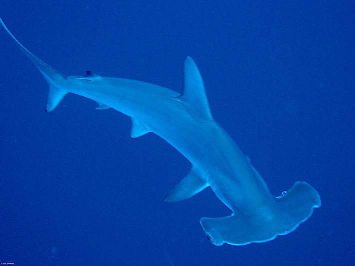 requin marteau VFS