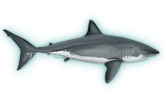requin blanc M Sarano