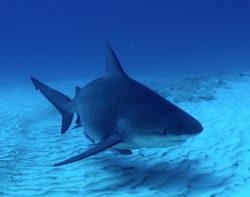 requins bouledogue au Mexique