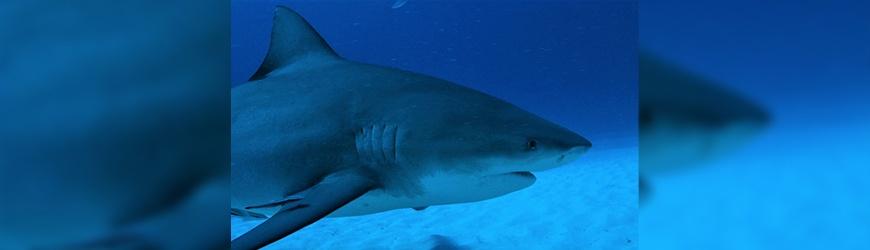 Vous reprendrez encore un peu de requin?