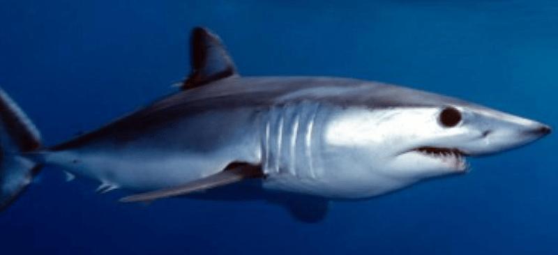 Protection des requins : l'Espagne interdit la commercialisation du requin taupe