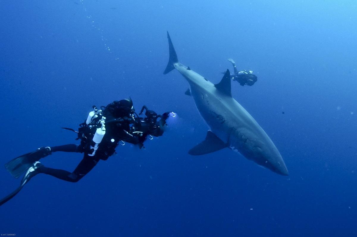 Plongeurs Interaction Francois Sarano et le grand blanc Guadalupe Cliche Aldo Ferruci dpi