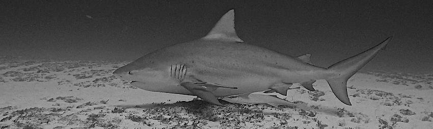 Scandale : le Centre Sécurité Requin braconne au cœur de la réserve marine de la Réunion !