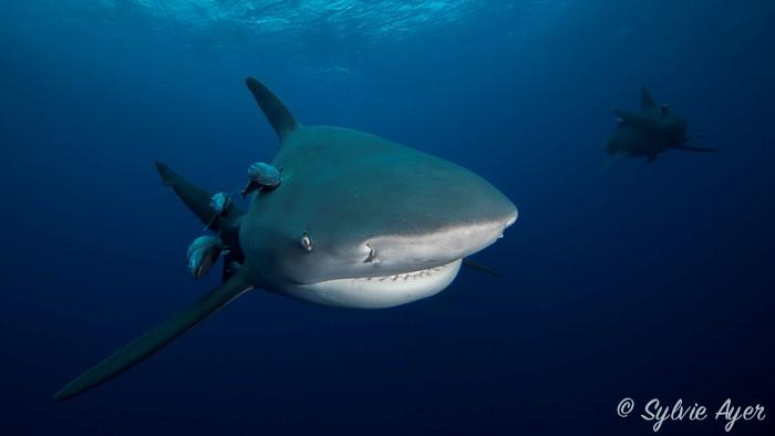 Requin Bouledogue, Sylvie AYER