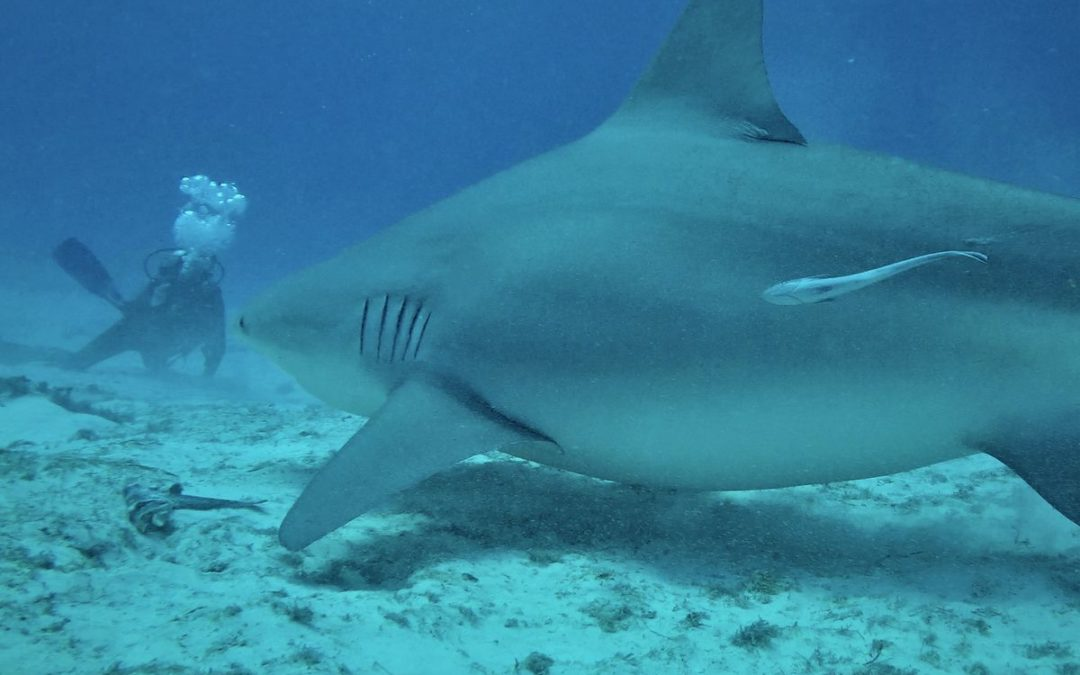 Crise requins La réunion: des violations en zone de protection forte!