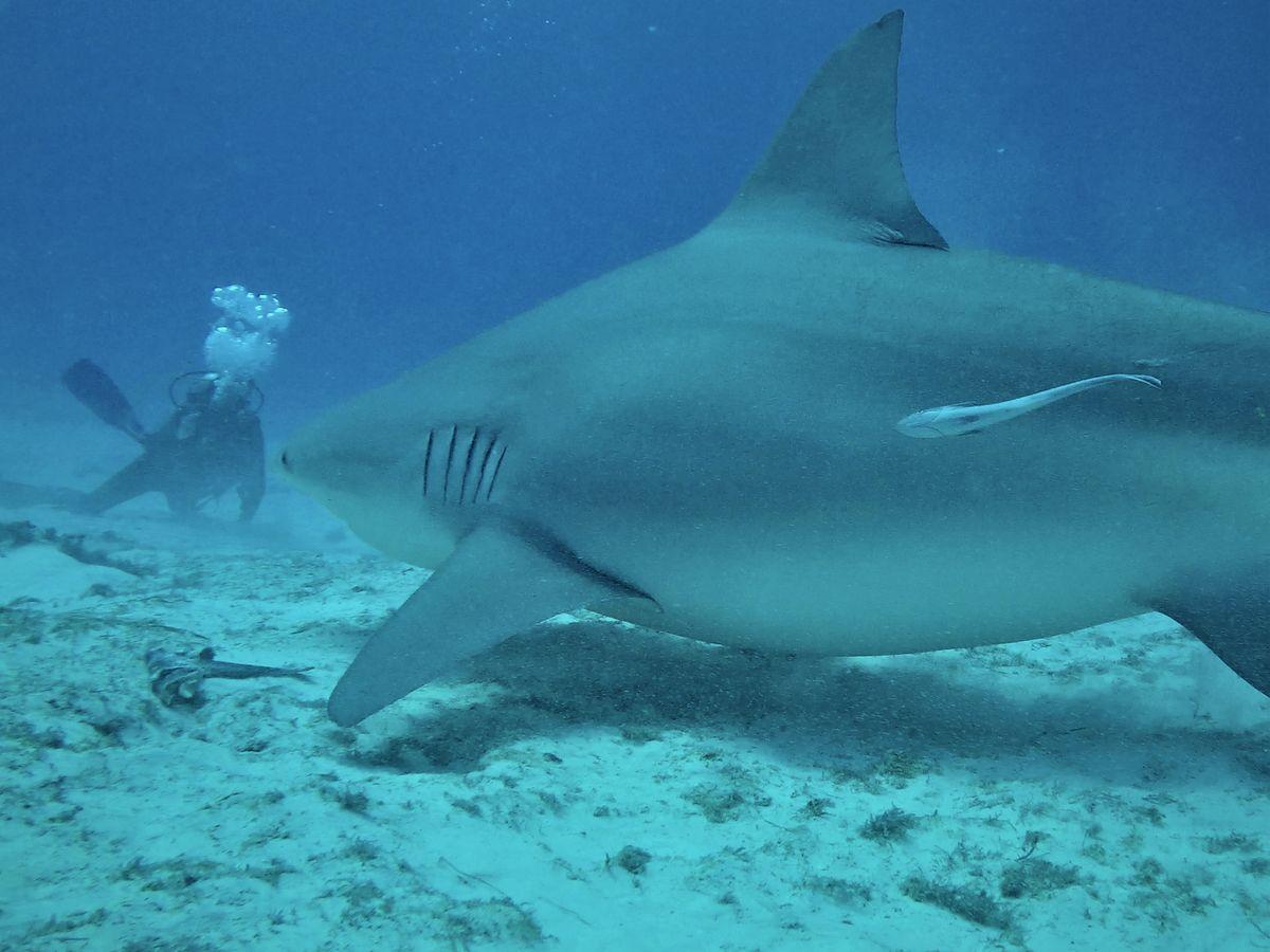 Crise requins La réunion : Des violations en zone de protection forte !